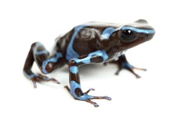 Dendrobates auratus, blue