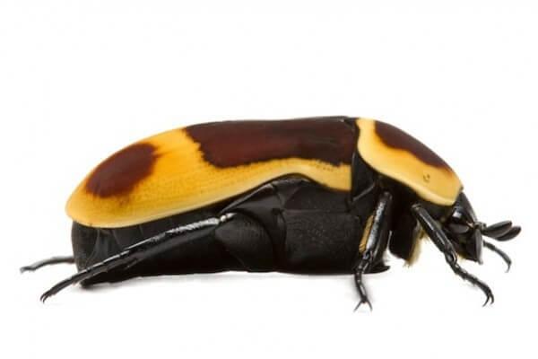 Pachnoda marginata