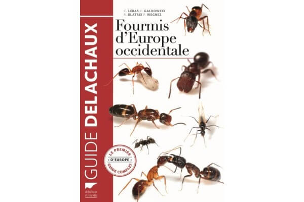 Fourmi d'Europe Occidentale