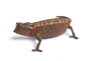 Brookesia thieli