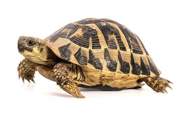 L'alimentation des tortues terrestres - Formation à distance - Samedi 20 Mars 2021