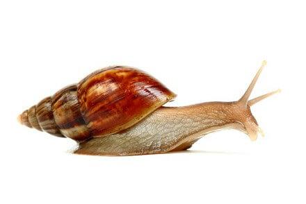 Achat Gastéropode - Gastéropodes - La Ferme Tropicale