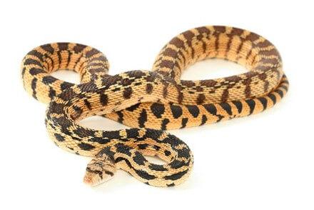 Achat Autres Serpents - Autres Serpents - La Ferme Tropicale