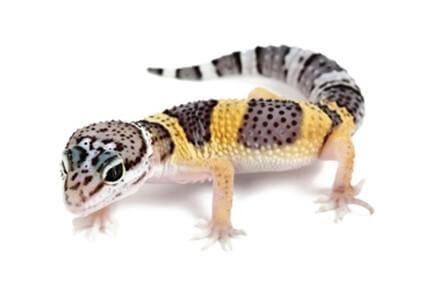 Achat Geckos Léopard - Geckos Léopards - La Ferme Tropicale