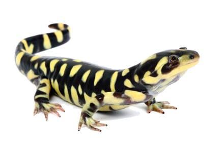 Achat Triton - Achat Salamandre - Tritons et Salamandres - La Ferme Tropicale