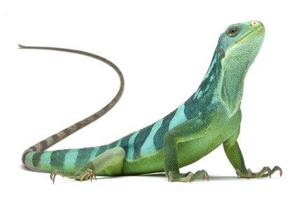 Achat Iguane - Iguanes - La Ferme Tropicale