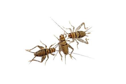 Nourriture pour insectivore - Insectes Vivants Pour Reptile - La Ferme Tropicale