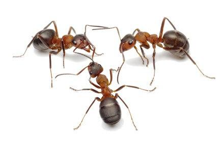 Achat Colonie fourmis - Colonies fourmis - La Ferme Tropicale